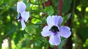 Η μεγάλη μαύρη μέλισσα ξυλουργών που συλλέγει το γλυκό νέκταρ από την μπλε άμπελο σαλπίγγων της Βεγγάλης ανθίζει απόθεμα βίντεο