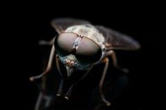 Η μεγάλη μύγα ματιών Στοκ Εικόνα