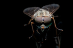Η μεγάλη μύγα ματιών Στοκ εικόνες με δικαίωμα ελεύθερης χρήσης