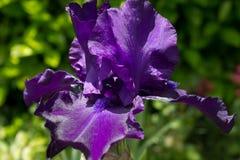 Η μεγάλη πορφυρή Iris Στοκ φωτογραφίες με δικαίωμα ελεύθερης χρήσης