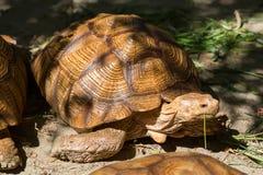 Η μεγάλη χελώνα τρώει τη χλόη Στοκ Εικόνες