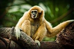 Πίθηκος - gibbon Στοκ φωτογραφία με δικαίωμα ελεύθερης χρήσης