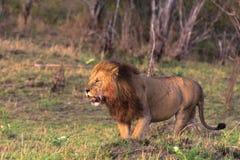 Η μεγαλύτερη γάτα Αφρική Στοκ Φωτογραφία