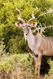 Η μεγαλύτερη πλάγια όψη Kudu θέτει Στοκ Εικόνα