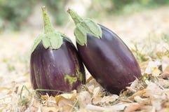 Η μελιτζάνα, μελιτζάνα, melongene καλλιεργεί αυγό, φρούτα κολοκύνθης της Γουινέας στη χλόη και ξηρά φύλλα φθινοπώρου Στοκ Φωτογραφία