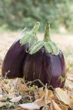 Η μελιτζάνα, μελιτζάνα, melongene καλλιεργεί αυγό, φρούτα κολοκύνθης της Γουινέας στη χλόη και ξηρά φύλλα φθινοπώρου Στοκ φωτογραφίες με δικαίωμα ελεύθερης χρήσης