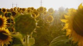Η μετακίνηση, λουλούδια ηλίανθων αυξάνεται στον τομέα στο υπόβαθρο των υψηλής τάσεως υποστηρίξεων φιλμ μικρού μήκους