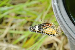 Η μεταμόρφωση πεταλούδων από το κουκούλι και η αναρρίχηση στο μαύρο πλαστικό δοχείο προετοιμάζονται στο πέταγμα στον κήπο Στοκ Εικόνες