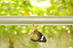Η μεταμόρφωση πεταλούδων από το κουκούλι και προετοιμάζεται στο πέταγμα στη γραμμή ενδυμάτων αργιλίου στον κήπο Στοκ εικόνα με δικαίωμα ελεύθερης χρήσης