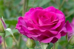 Η μελωδία Parfumee ρόδινο αυξήθηκε λουλούδι Στοκ Φωτογραφία