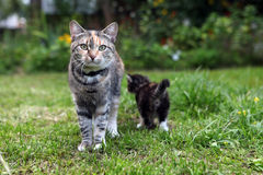 Η μητέρα-γάτα Στοκ Εικόνες