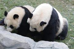 Η μητέρα η γιγαντιαία Panda παίζει την πάλη με Cub της, Chengdu, Κίνα Στοκ Εικόνες