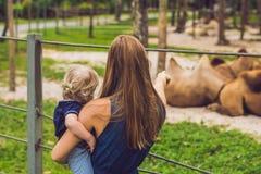 Η μητέρα και ο γιος εξετάζουν τις καμήλες στο ζωολογικό κήπο στοκ εικόνες