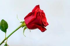 Η μια όμορφη καμπή κόκκινη αυξήθηκε στο λευκό στοκ φωτογραφία με δικαίωμα ελεύθερης χρήσης