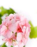 Η μικρή άνθηση λουλουδιών Στοκ Εικόνα