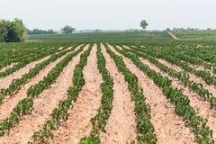 Η μικρή μανιόκα του αγροκτήματος μανιόκων, βιομηχανική πτώση της Ταϊλάνδης Στοκ Εικόνες
