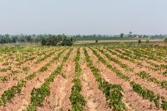 Η μικρή μανιόκα του αγροκτήματος μανιόκων, βιομηχανική πτώση της Ταϊλάνδης Στοκ Φωτογραφίες