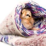 Η μικρή συνεδρίαση κοτόπουλου πλέκει τις κάλτσες Στοκ Φωτογραφίες