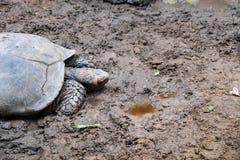 Η μισή από τη μεγάλη χελώνα στο χώμα στοκ εικόνα με δικαίωμα ελεύθερης χρήσης