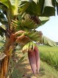 Η μπανάνα ανθίζει το κόκκινο και το δέντρο Στοκ Εικόνες