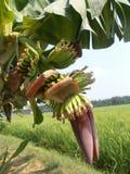 Η μπανάνα ανθίζει το κόκκινο Στοκ Φωτογραφία