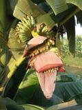 Η μπανάνα ανθίζει το κόκκινο saba Στοκ φωτογραφίες με δικαίωμα ελεύθερης χρήσης