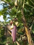 Η μπανάνα ανθίζει το κόκκινο saba Στοκ Φωτογραφίες