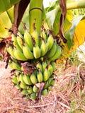 Η μπανάνα γυναικείων δάχτυλων στοκ εικόνες με δικαίωμα ελεύθερης χρήσης