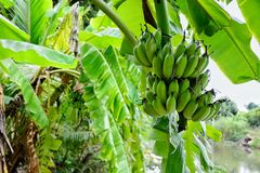 η μπανάνα πράσινη κοιτάζει πολύ Στοκ εικόνα με δικαίωμα ελεύθερης χρήσης