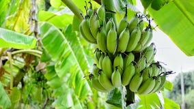 η μπανάνα πράσινη κοιτάζει πολύ Στοκ Εικόνα
