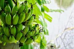 η μπανάνα πράσινη κοιτάζει πολύ Στοκ Φωτογραφίες