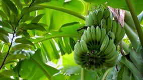 η μπανάνα πράσινη κοιτάζει πολύ Στοκ Φωτογραφία