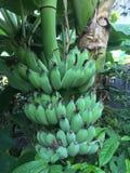 η μπανάνα πράσινη κοιτάζει πολύ Στοκ Εικόνες