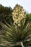 Η μπανάνα Yucca αυξάνεται στις μερίδες ερήμων του εθνικού μνημείου αιχμών ερήμων βουνών οργάνων στο Νέο Μεξικό στοκ φωτογραφία με δικαίωμα ελεύθερης χρήσης