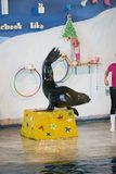 Η Μπανγκόκ, Ταϊλάνδη, στις 13 Φεβρουαρίου 2018, λιοντάρι θάλασσας παρουσιάζει στάση με το ζωικό τ Στοκ Φωτογραφίες