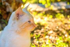 Η μπεζ αμερικανική γάτα Shorthair στο πάρκο στοκ εικόνα