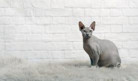 Η μπλε γάτα sphynx κάθεται σε ένα κάλυμμα γουνών και εξετάζει τη κάμερα στοκ φωτογραφία με δικαίωμα ελεύθερης χρήσης