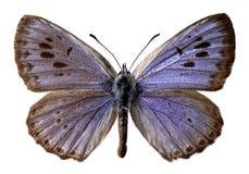 η μπλε πεταλούδα απομόνω&sig Στοκ Φωτογραφίες