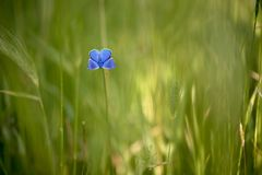 Η μπλε πεταλούδα Polyommatus Ίκαρος σε ένα ξέφωτο μια θερινή ημέρα σε ένα λουλούδι τομέων στοκ εικόνα με δικαίωμα ελεύθερης χρήσης
