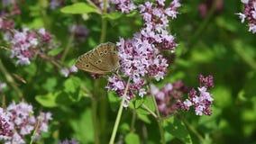 Η μπούκλα πεταλούδων (hyperantus Aphantopus) συλλέγει το νέκταρ στα λουλούδια απόθεμα βίντεο