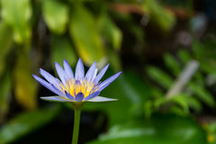 Η μπλε άνθιση λουλουδιών λωτού Στοκ φωτογραφία με δικαίωμα ελεύθερης χρήσης