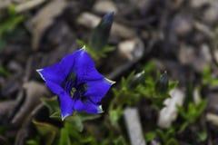 η μπλε γεντιανή Στοκ Φωτογραφία
