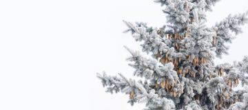 Η μπλε ερυθρελάτη με τους κώνους καλύπτεται με τον παγετό Στοκ Εικόνα