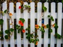 η μπλε ζωηρόχρωμη κομψή φραγή catmint ανθίζει πράσινο λογικό άσπρο κίτρινο τριαντάφυλλων s γυναικείων κορνιζών τζακιού ρόδινο πορ Στοκ φωτογραφίες με δικαίωμα ελεύθερης χρήσης