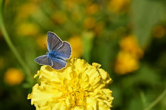 Η μπλε πεταλούδα κάθεται σε ένα κίτρινο λουλούδι Στοκ φωτογραφία με δικαίωμα ελεύθερης χρήσης