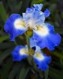 Η μπλε Iris αριθ. 2 Στοκ εικόνες με δικαίωμα ελεύθερης χρήσης