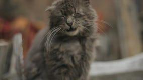 Η μόνη γκρίζα γάτα με τα μακριά άσπρα μουστάκια και λυπημένος κοιτάζει κάθεται στο φράκτη, κατόπιν τρέχει μακριά γάτα χνουδωτή Γά απόθεμα βίντεο