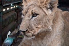 Η μόνη λιονταρίνα βρίσκεται στα πόδια και λυπημένος Στοκ εικόνες με δικαίωμα ελεύθερης χρήσης