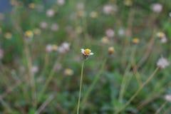 Η μόνη Daisy Στοκ Φωτογραφίες