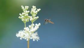 η μύγα αιωρείται Στοκ Φωτογραφίες